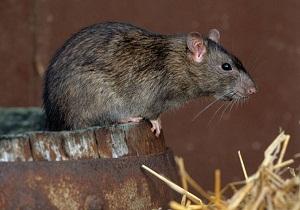 земляная крыса фото