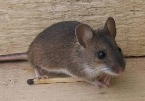 как избавиться от мышей в доме навсегда