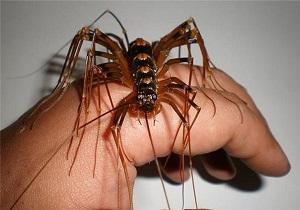 мухоловка насекомое чем опасна
