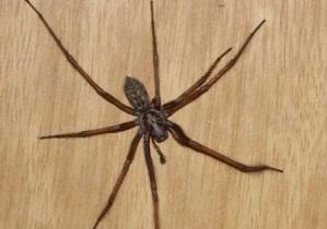 паук в доме примета