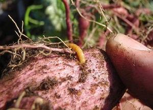 методы борьбы с проволочником на картрофеле