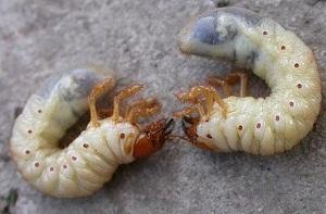 личинка майского жука фото