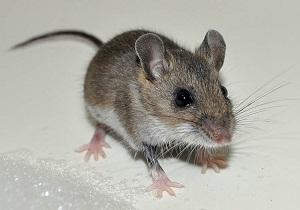 народные средства от мышей в частном доме