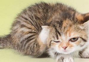 2 51 - Блохи у кошек: как вывести в домашних условиях народными средствами