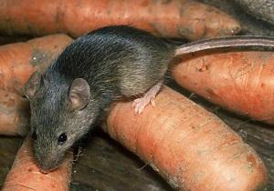 как вывести мышей из дома