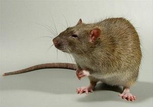 как поймать крысу в доме самодельный способ