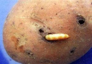 проволочник в картошке как избавиться осенью
