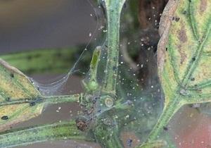 клещи против паутинного клеща