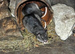 самодельные ловушки для крыс в доме
