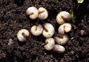 борьба с личинками майского жука