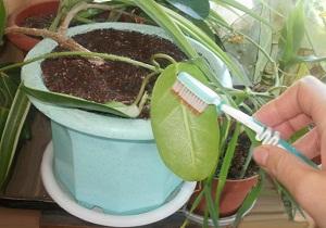 щитовка на комнатных растениях как бороться фото