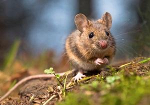 чернокорень лекарственный от мышей фото где купить
