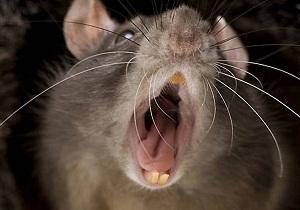 борьба с крысами в частном доме
