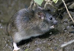 земляная крыса в огороде фото