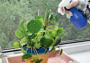 трипсы на комнатных растениях фото