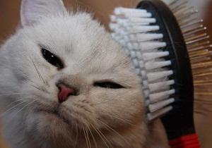 5 29 - Блохи у кошек: как вывести в домашних условиях народными средствами
