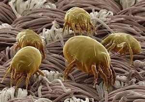 палевые клещи фото укусов