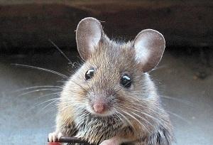 Эффективная отрава от мышей