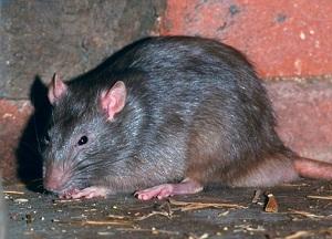 методы борьбы с крысами в доме