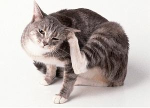 koshka cheshetsya - Блохи у кошек: как вывести в домашних условиях народными средствами