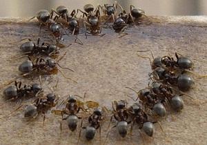 как избавиться от домашних муравьев в квартире