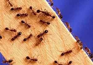 маленькие рыжие муравьи в квартире как избавиться