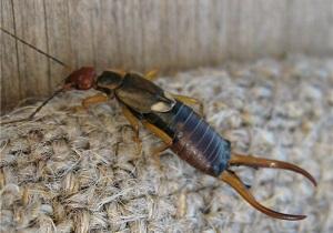 двухвостка насекомое