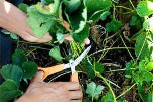 осенняя обработка клубники от вредителей и болезней