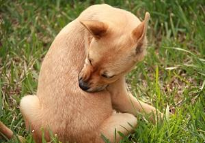блохи у собак фото