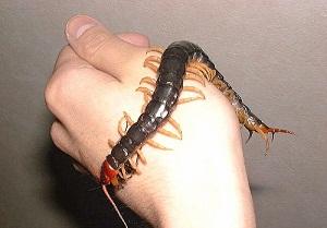 скалапендрия фото насекомое чем опасна