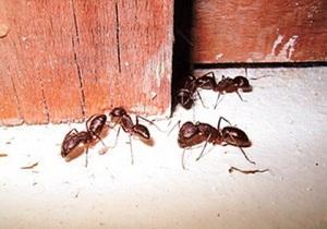 как бороться с домашними муравьями в квартире