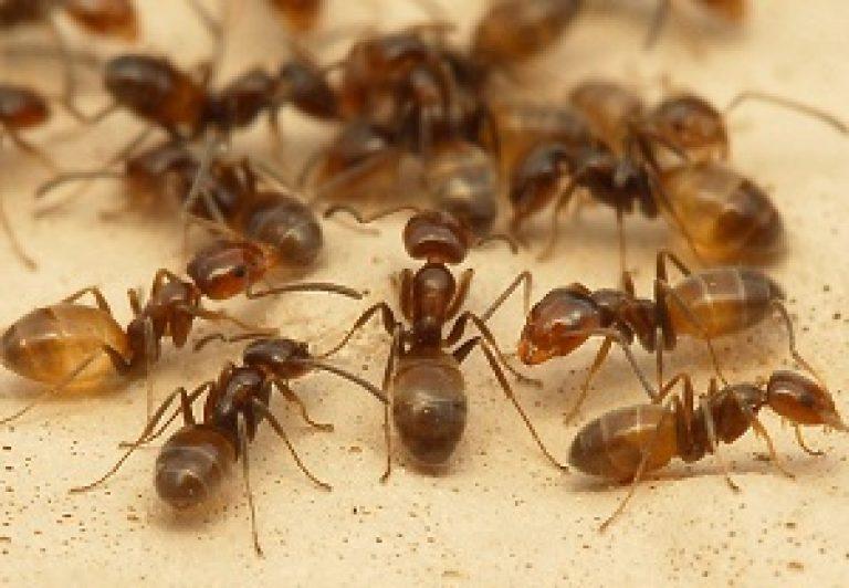 Способы борьбы с муравьями в квартирах в домашних условиях