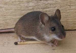 мыши в доме как избавиться чего они боятся