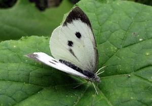 чем питается бабочка капустница