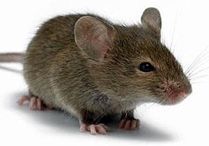 борьба с мышами на даче народными средствами