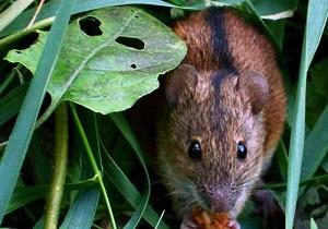 мыши полевки как избавиться