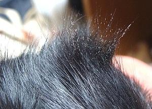 методы лечения власоедов у собак