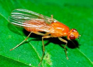 способы борьбы с морковной мухой