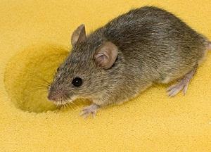 рецепты народных средств от мышей