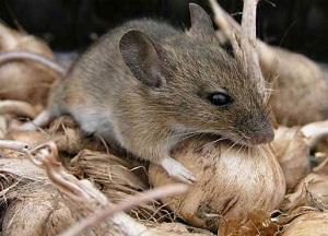 обзор эффективных средств от мышей в частном доме