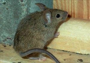 лучшая приманка для мышей в мышеловку