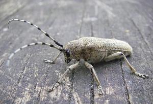 как бороться с жуками древоточцами