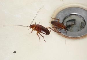 отрава от тараканов с борной кислотой