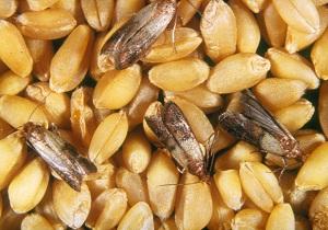 пищевая моль как избавиться народными средствами