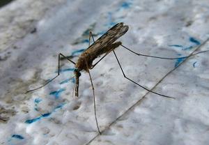 личинка малярийного комара фото