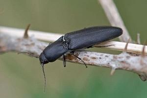 личинка жука щелкуна