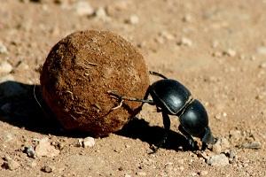 скарабей жук навозник