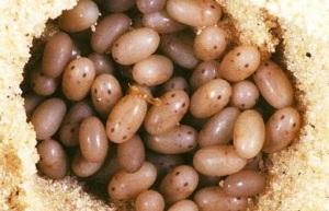 медведка фото и описание личинки