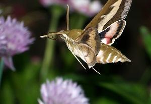 фото бабочек бражников