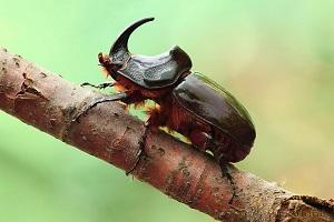 жук носорог фото и описание